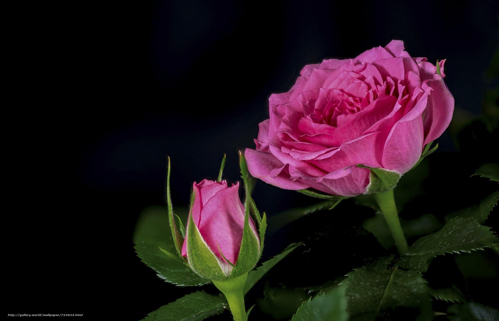 Красивые картинки розы на черном фоне