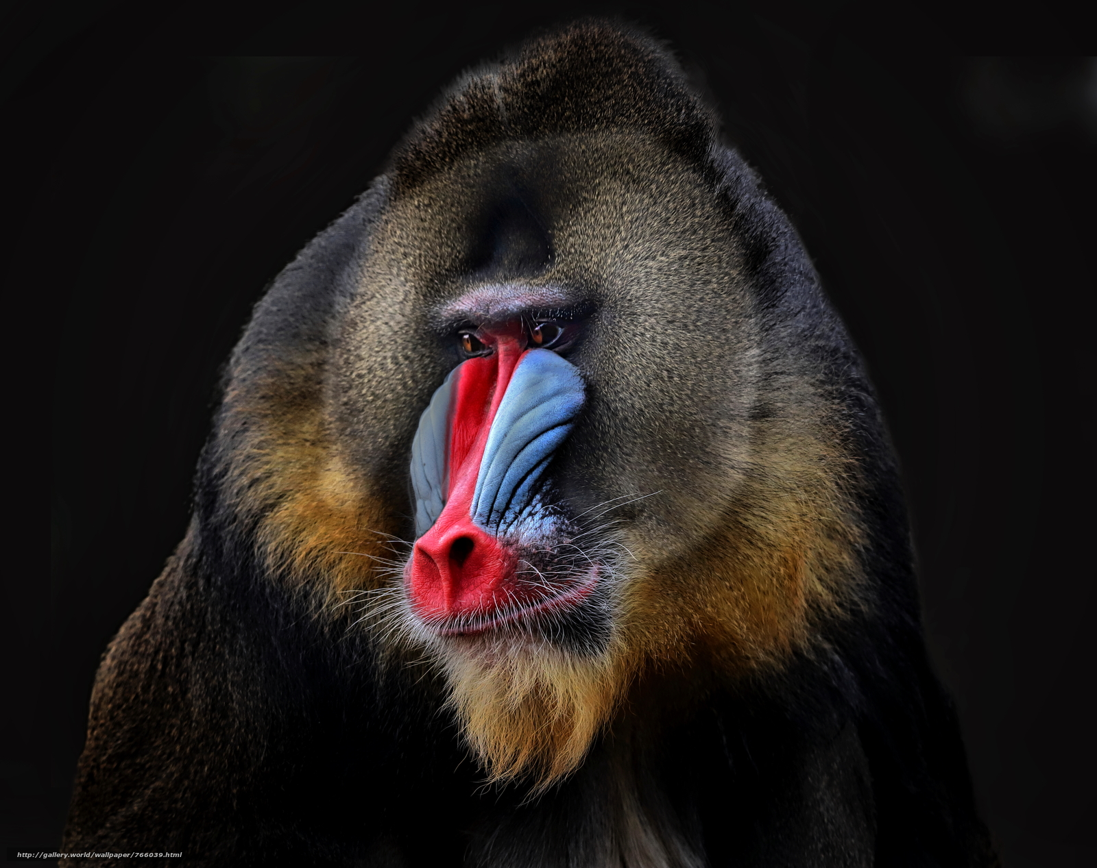 Baboon, baboon, baboon, a monkey, Photo portrait