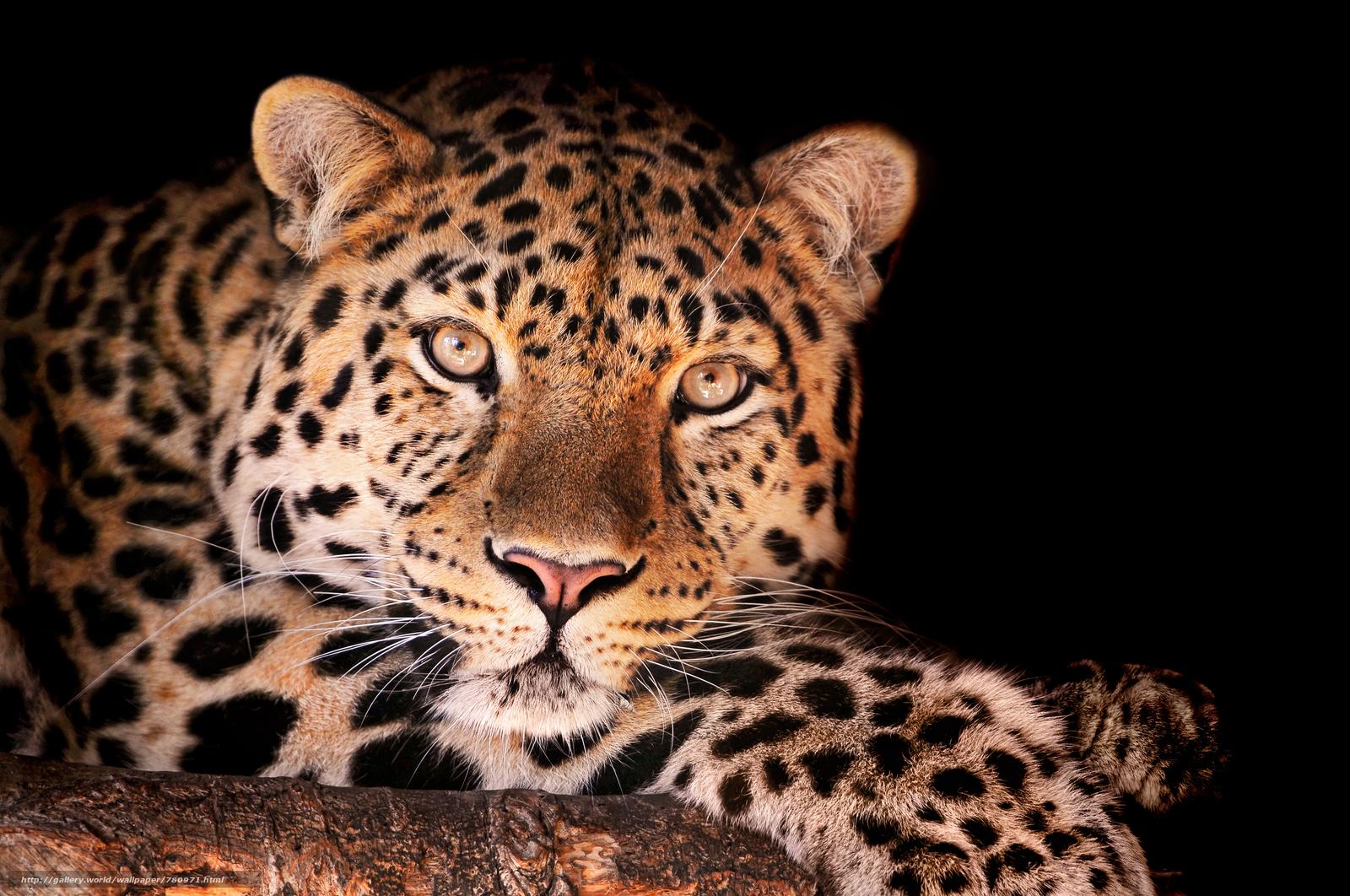 Leopard, Raubtier, Maulkorb, Ansicht, Tier